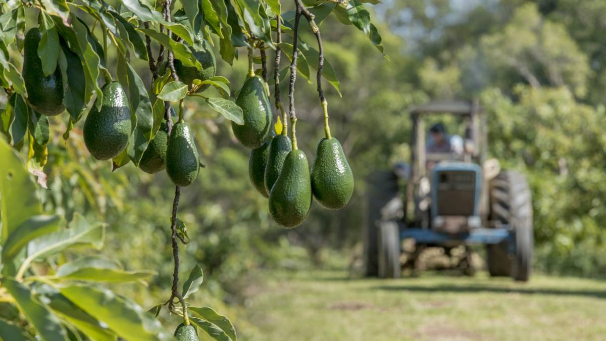 Avocado Farming | Century Community